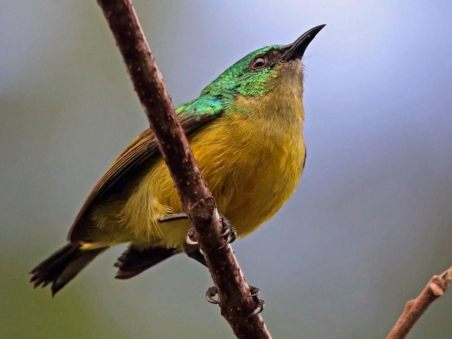 Collared Sunbird - Nigel Voaden
