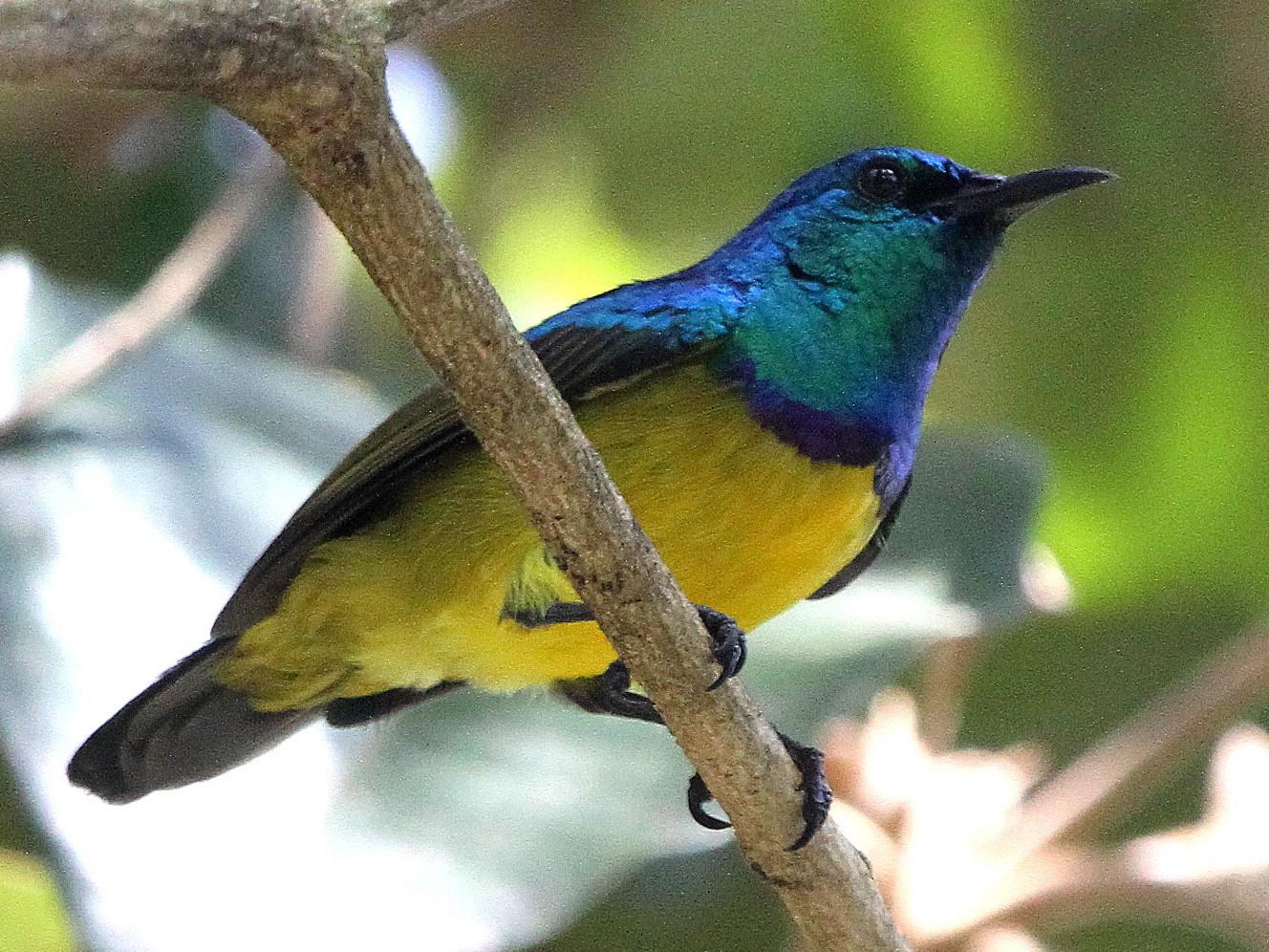 Collared Sunbird - Stephen Gast