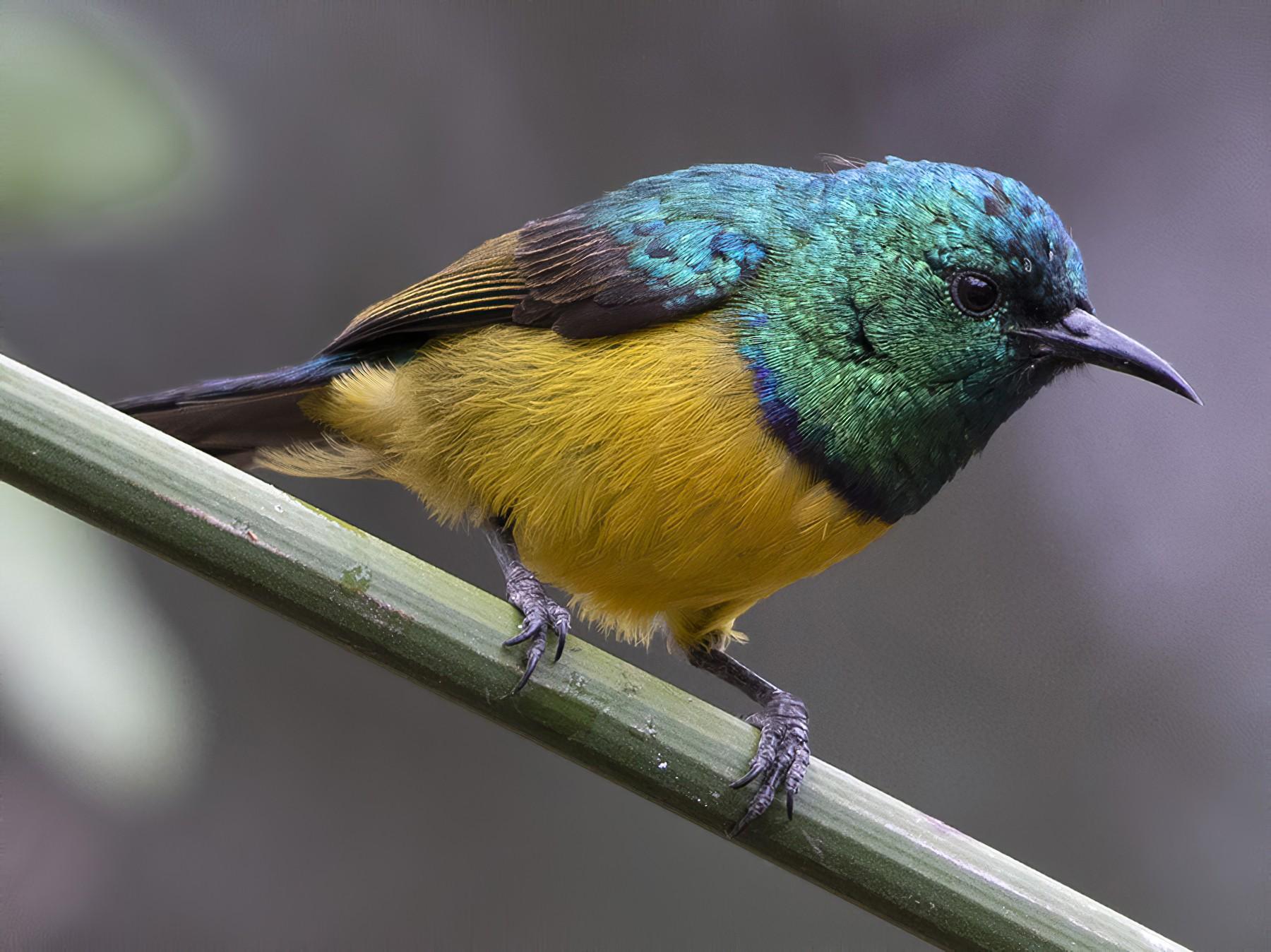 Collared Sunbird - Debra Herst