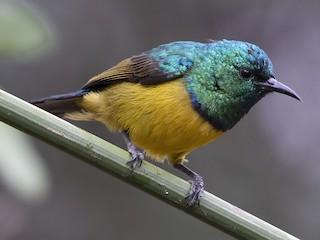 - Collared Sunbird