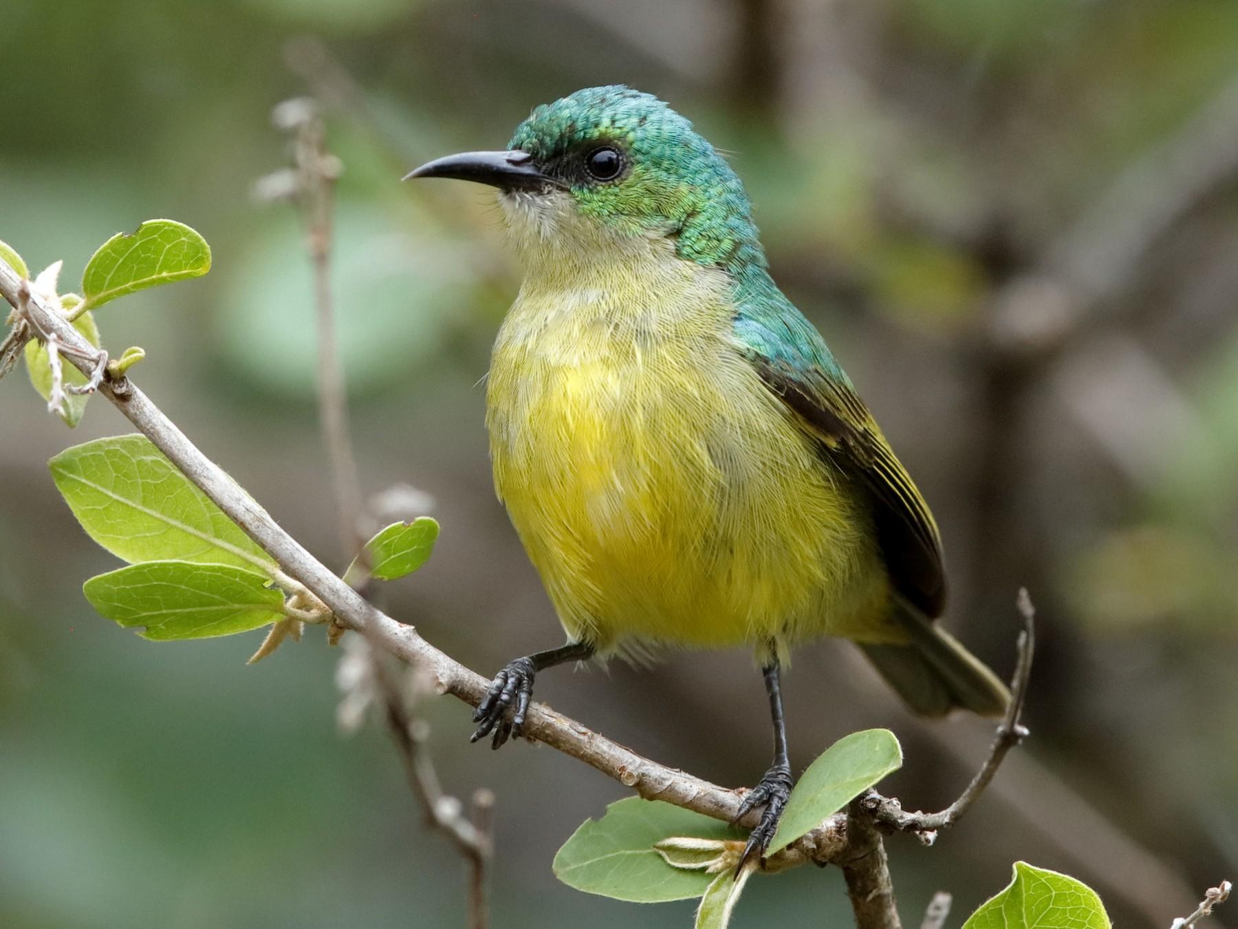 Collared Sunbird - Holger Teichmann