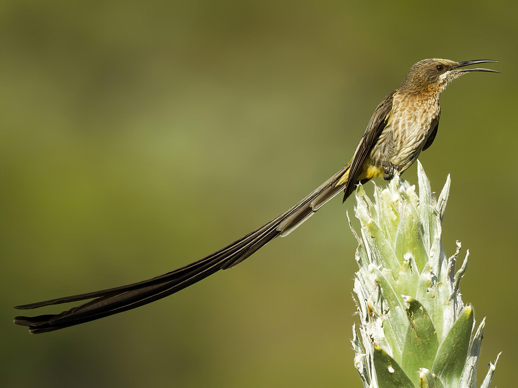 Cape Sugarbird - Yoav Perlman