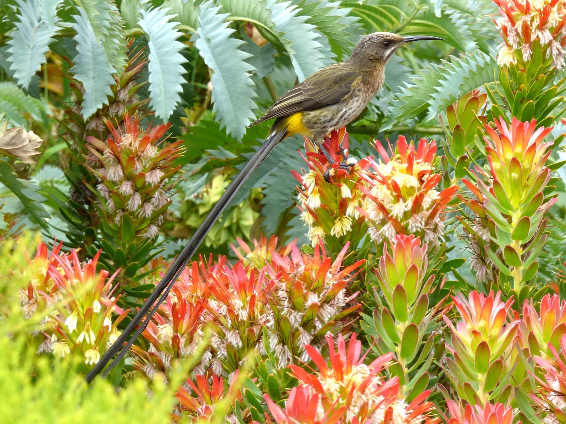 Cape Sugarbird - Scott Winton