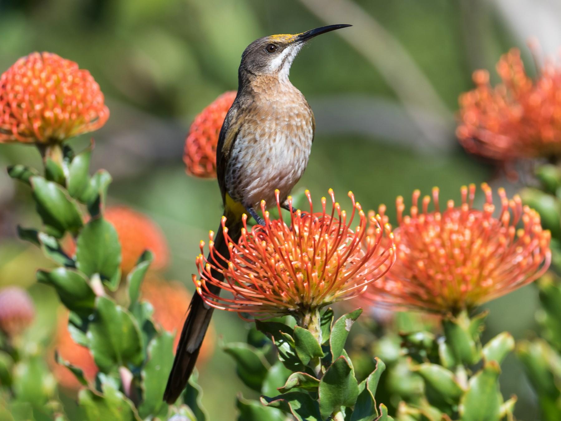 Cape Sugarbird - Markus Craig