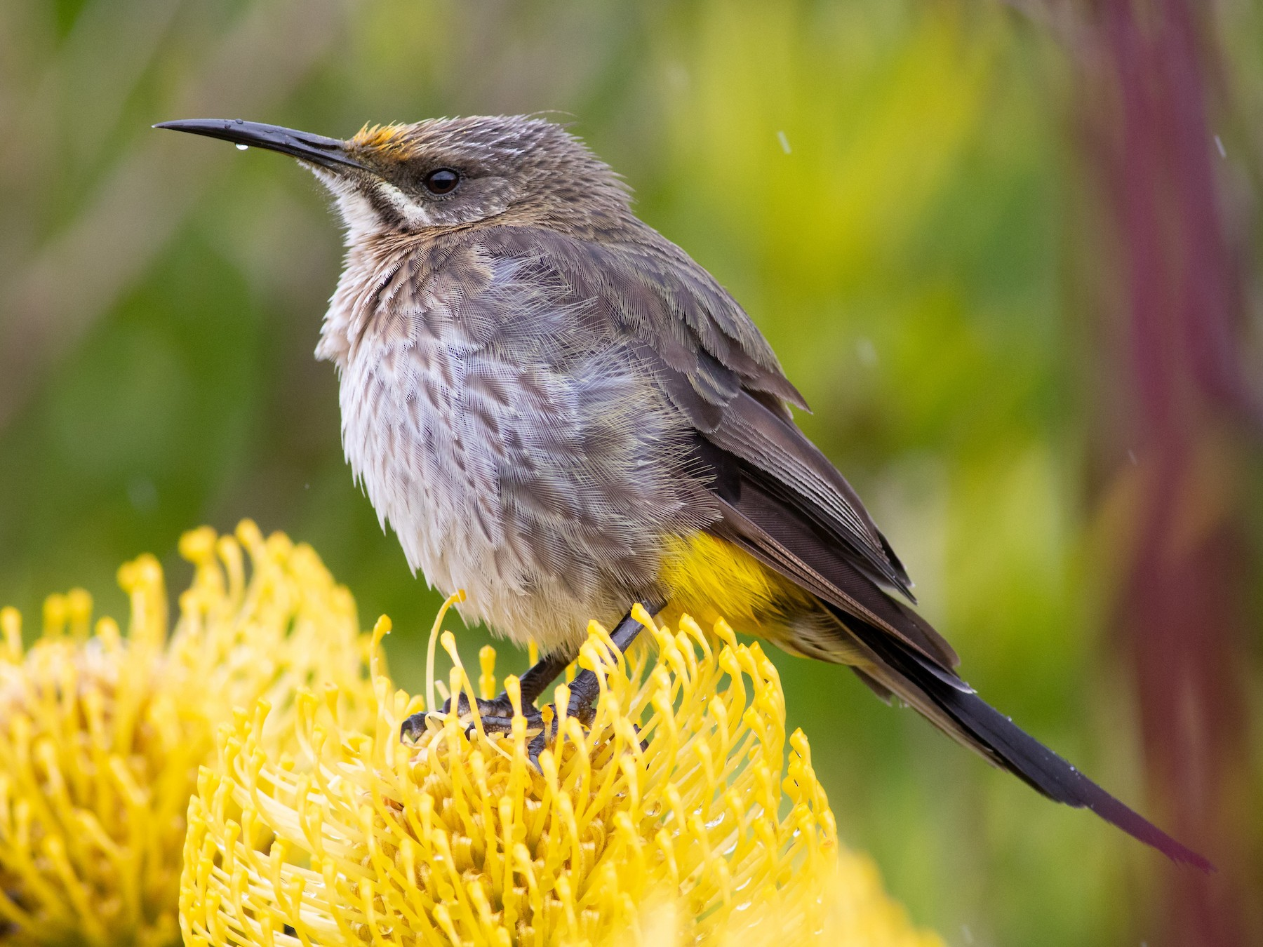 Cape Sugarbird - Oliver Burton