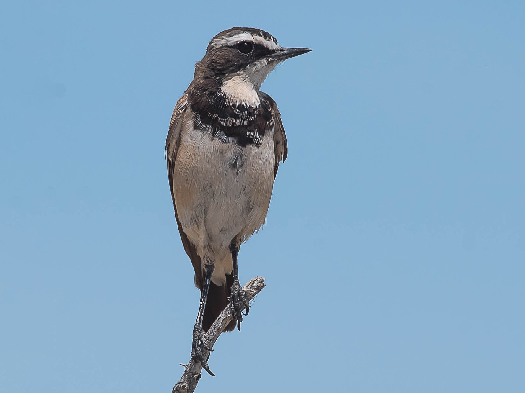 Capped Wheatear - Rogério Rodrigues