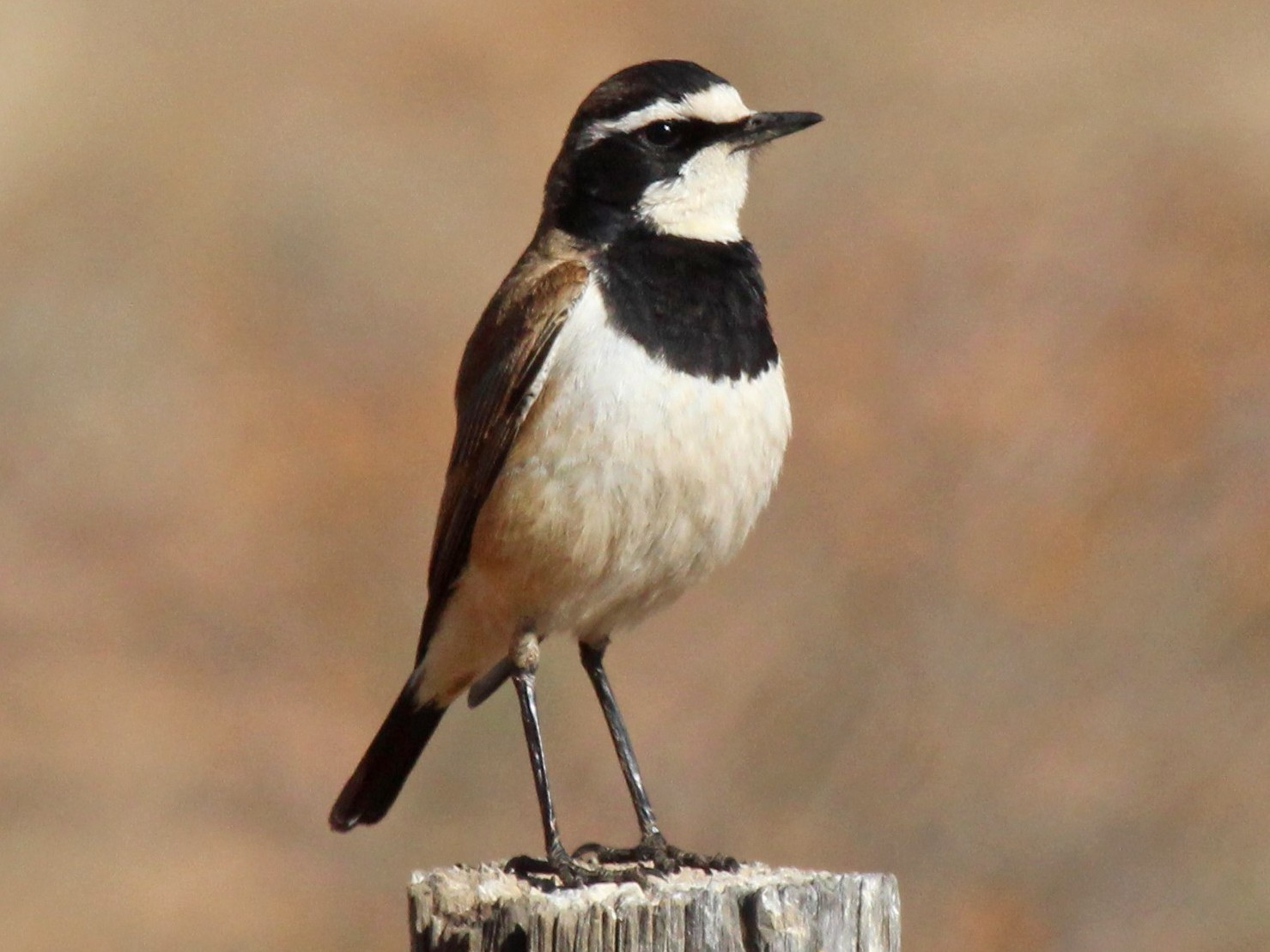 Capped Wheatear - Sandy Schreven