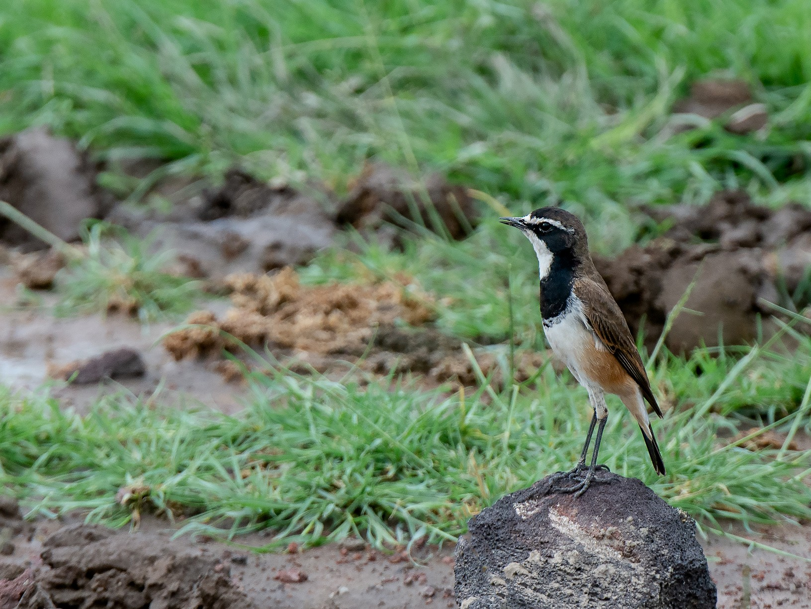 Capped Wheatear - George Pagos