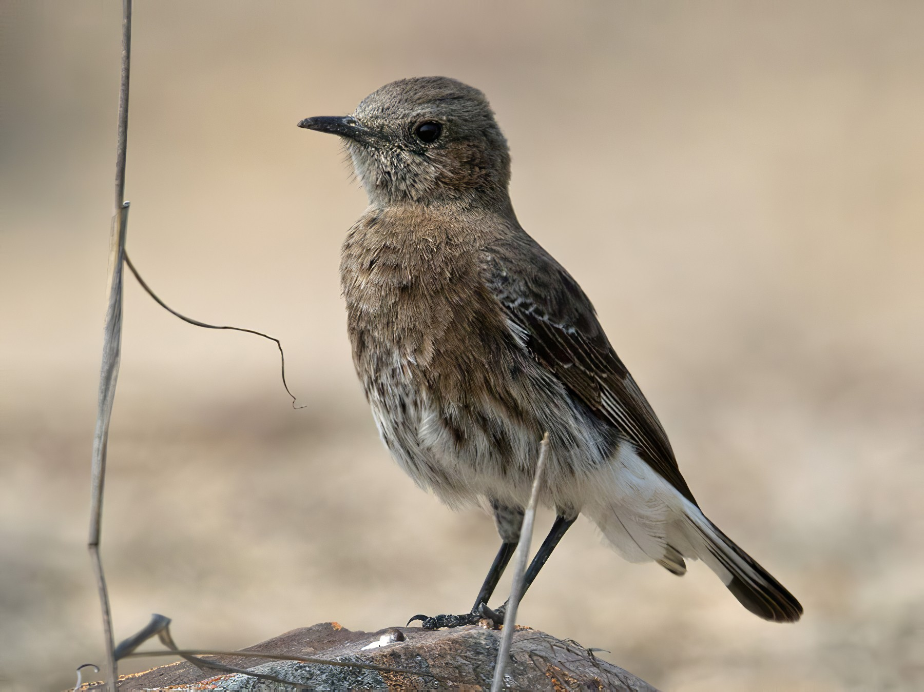 Mountain Wheatear - Lars Petersson