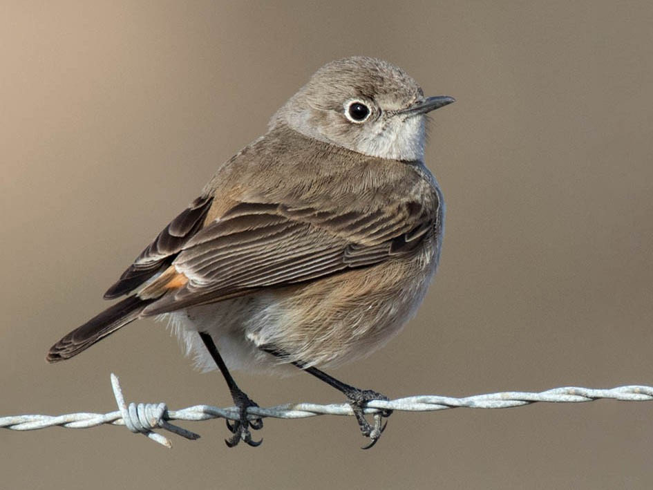 Sickle-winged Chat - Bruce Ward-Smith