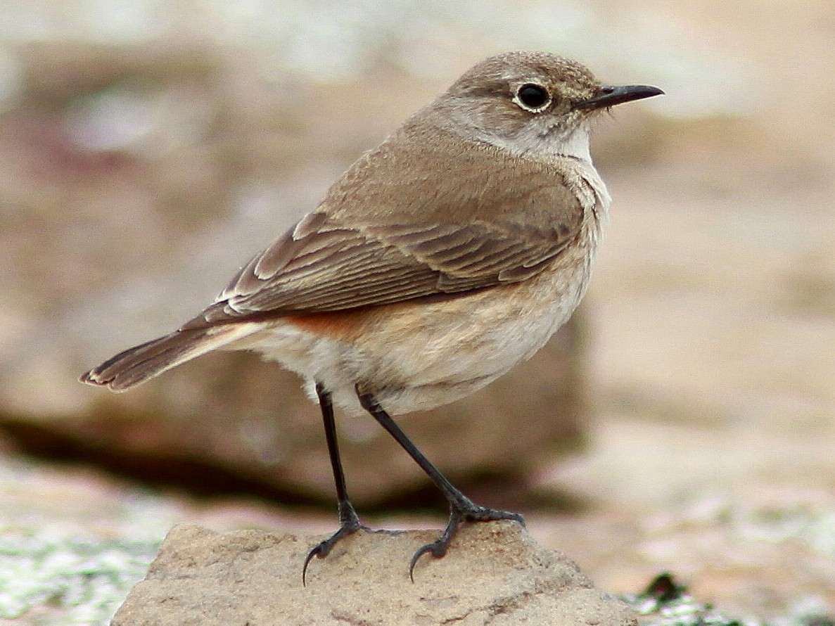 Sickle-winged Chat - Guy Poisson