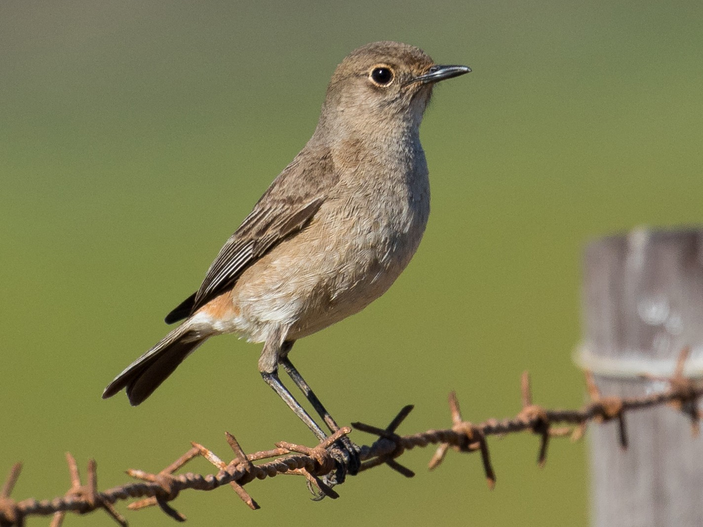 Sickle-winged Chat - Markus Craig