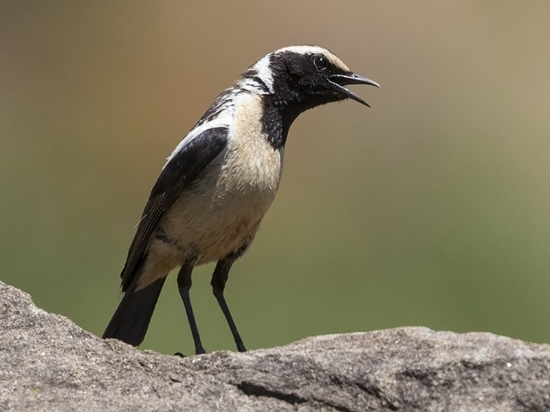 Buff-streaked Chat - Niall D Perrins