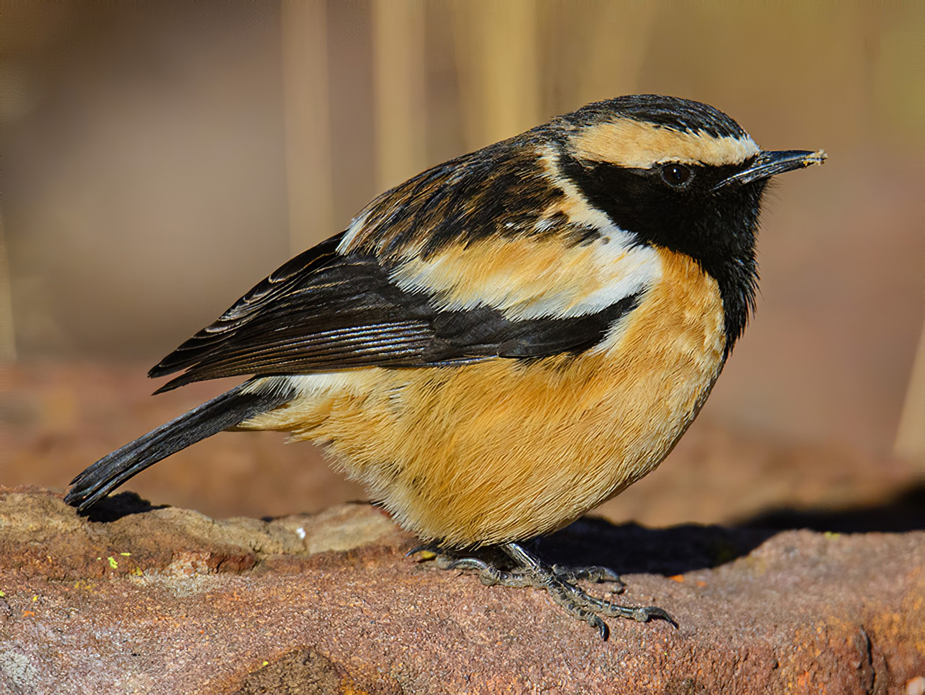 Buff-streaked Chat - Dylan Vasapolli - Birding Ecotours