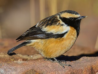 - Buff-streaked Chat