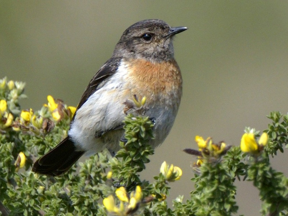 African Stonechat - Tomas Grim