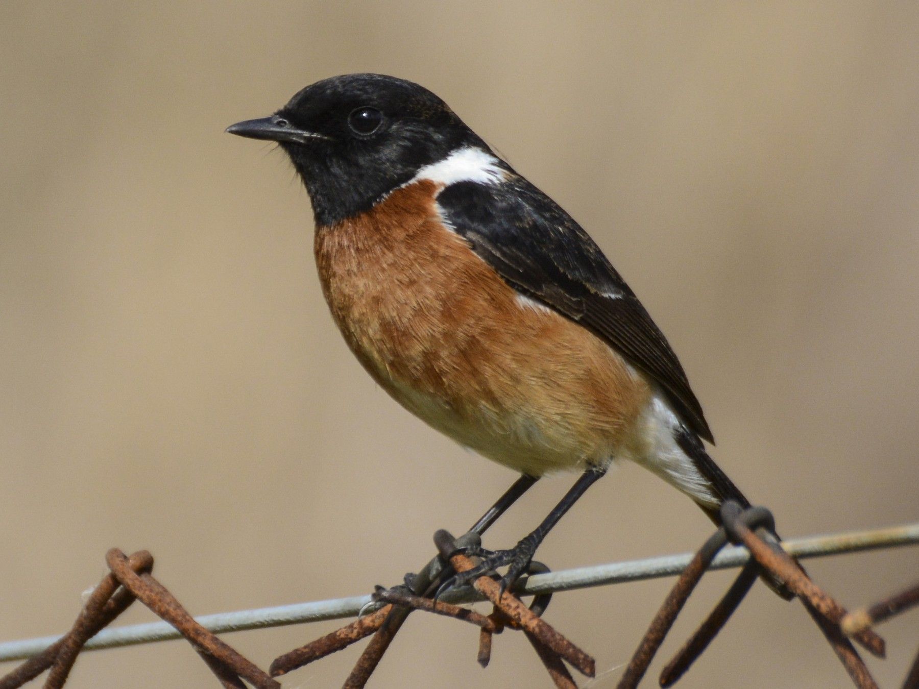 African Stonechat - Patrick Maurice