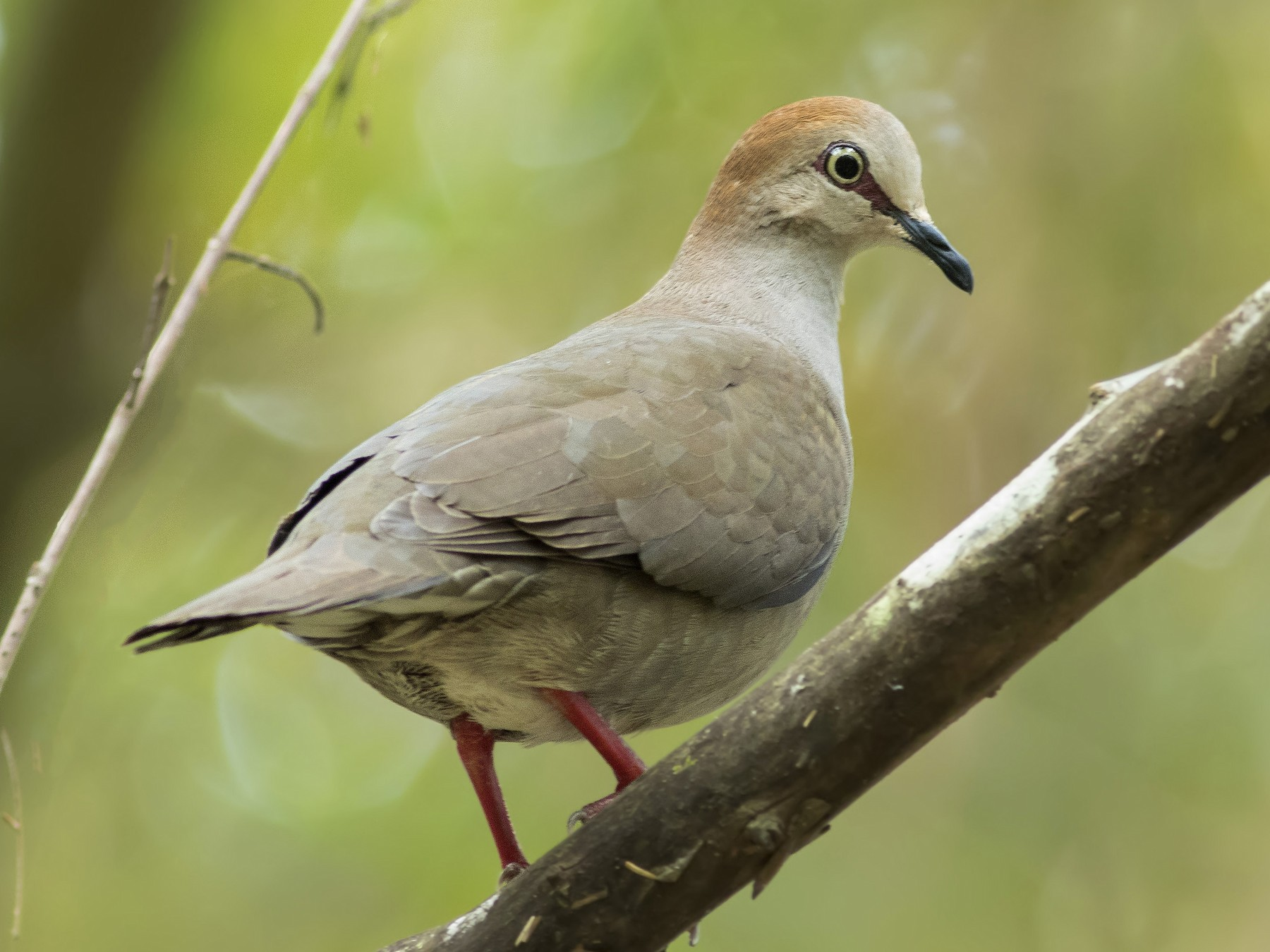 Gray-chested Dove - Guillermo  Saborío Vega