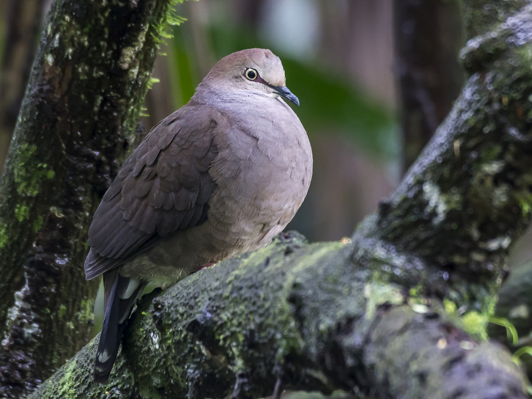 Gray-chested Dove - fernando Burgalin Sequeria