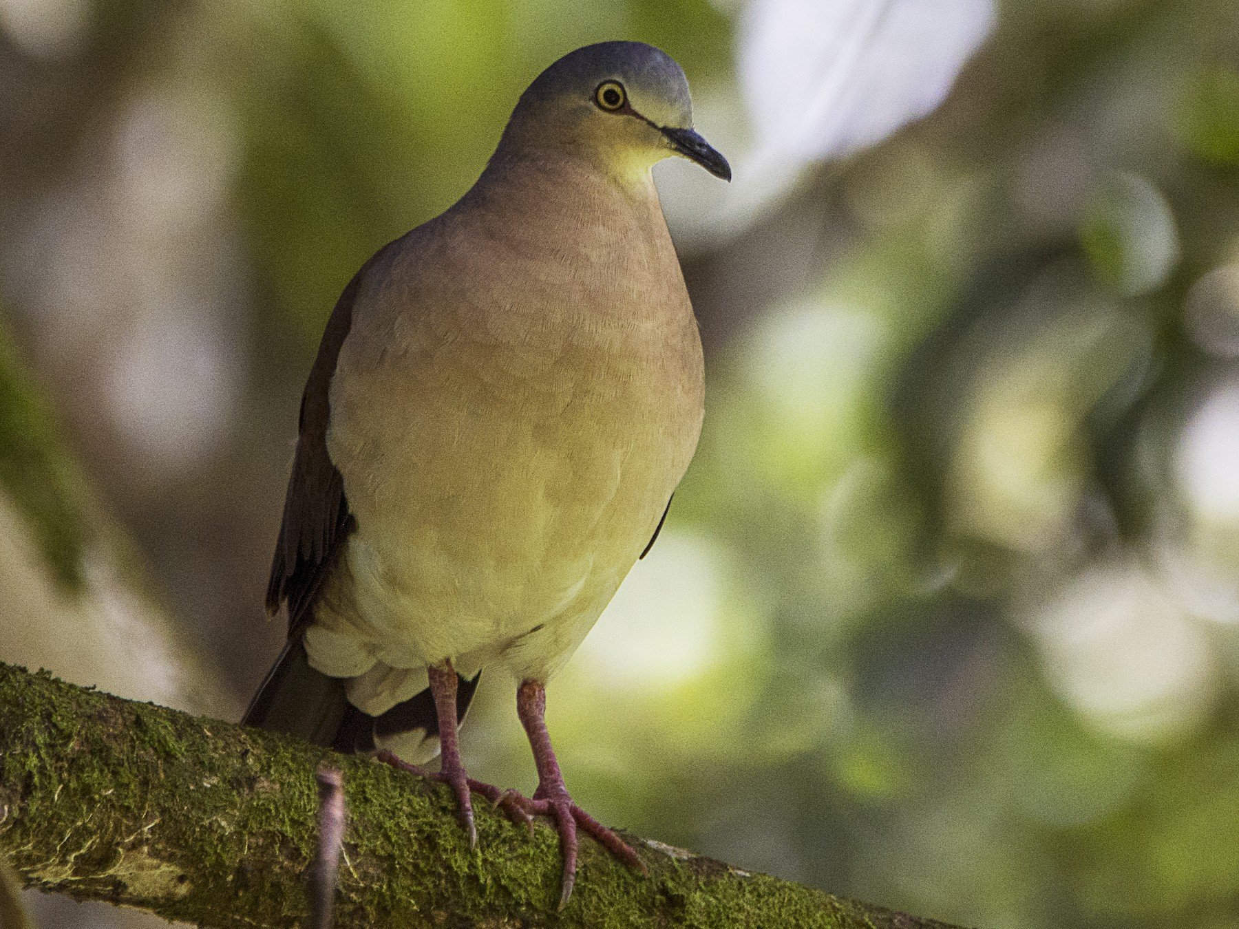 Gray-headed Dove - Leandro Arias