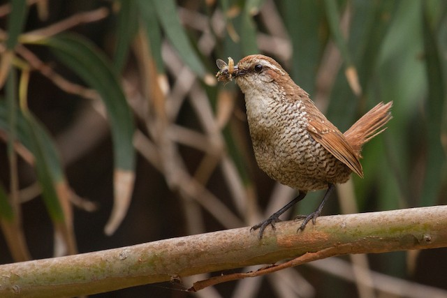 White-throated Tapaculo