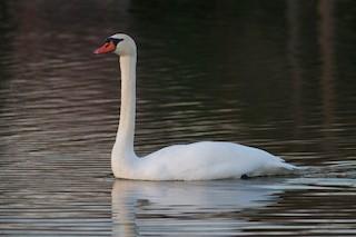 Mute Swan, ML21705771