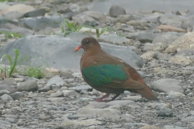 Stephan's Dove