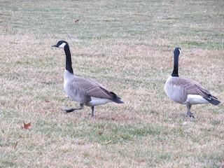 Canada Goose, ML217106271