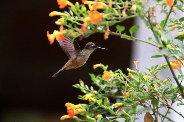 Santa Marta Blossomcrown