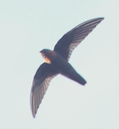 Chestnut-collared Swift