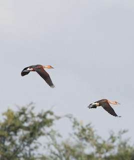 Fulvous Whistling-Duck