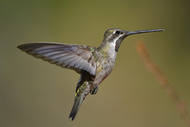 Plain-capped Starthroat