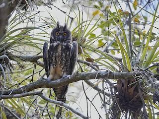 - Stygian Owl