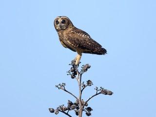 - Marsh Owl