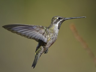 - Plain-capped Starthroat