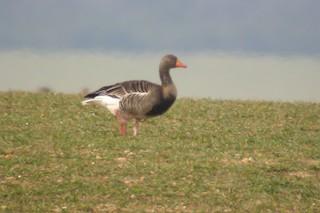 Graylag Goose, ML217644261