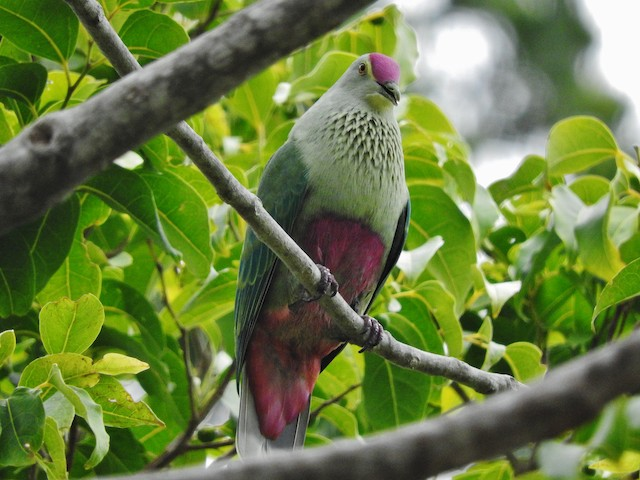 Red-bellied Fruit-Dove