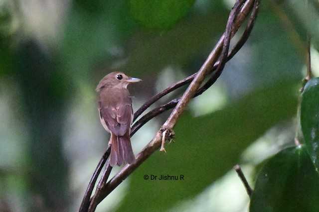 Nicobar Jungle-Flycatcher
