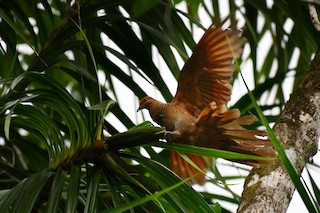 Andaman Cuckoo-Dove