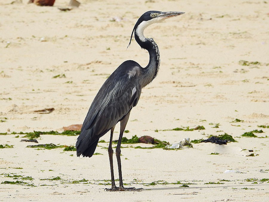 Black-headed Heron - Ad Konings