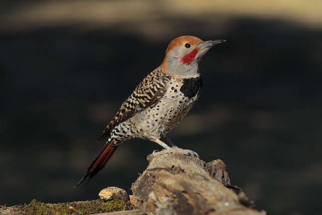 Northern Flicker (Guatemalan)