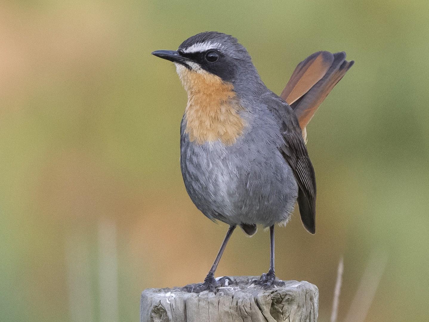 Cape Robin-Chat - Peter Hawrylyshyn