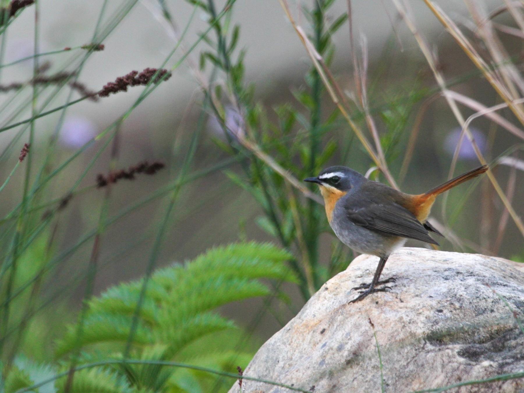 Cape Robin-Chat - Anya Auerbach