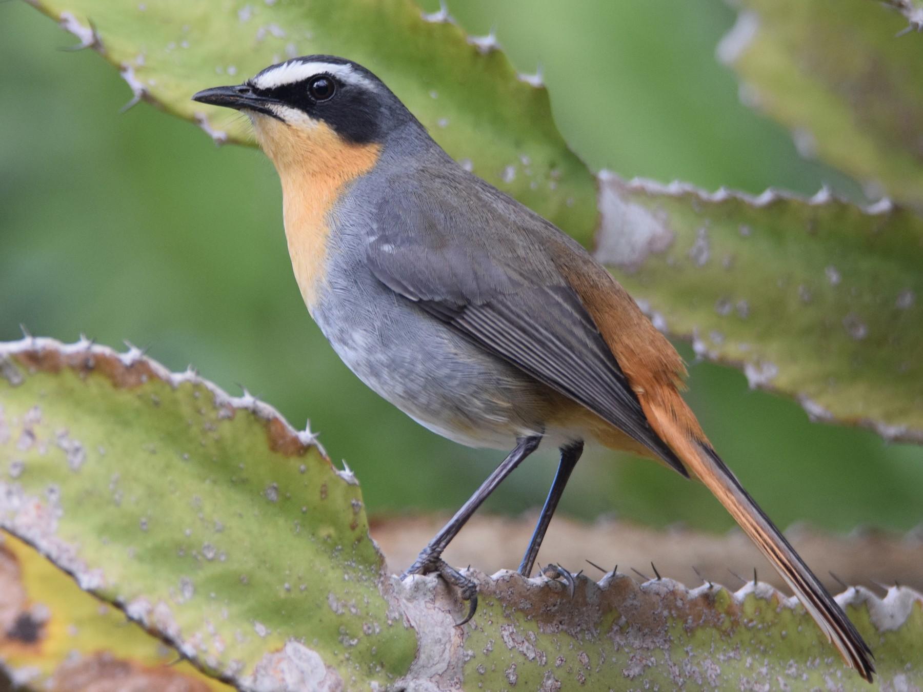 Cape Robin-Chat - Kalen Davison