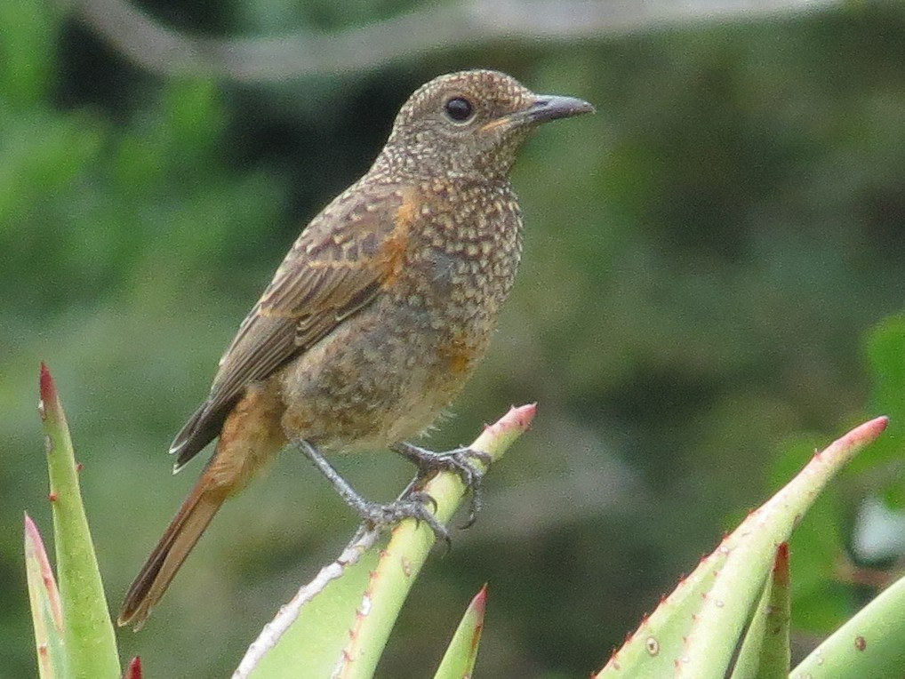 Cape Rock-Thrush - Rei Segali