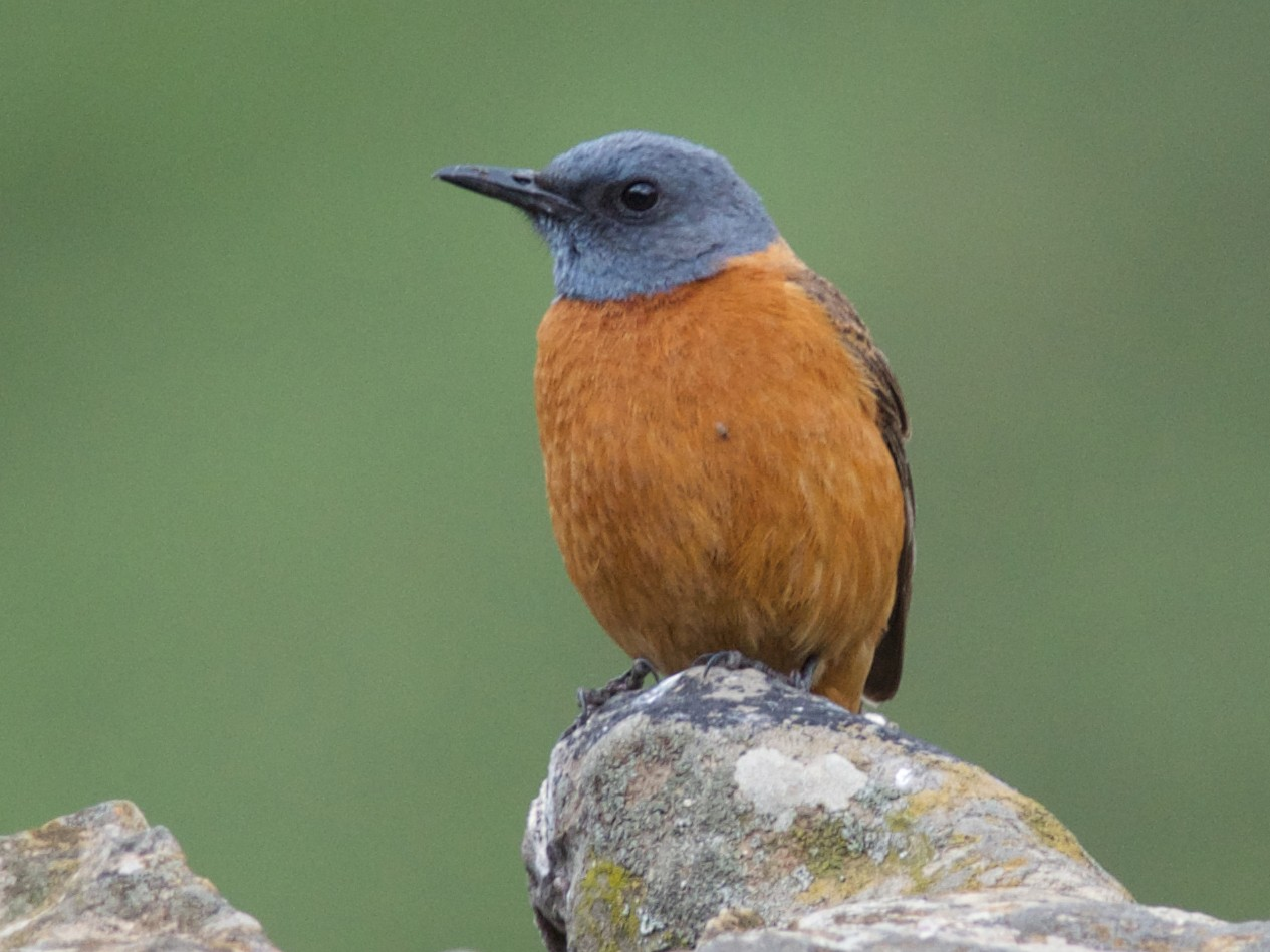 Cape Rock-Thrush - Clayton Burne
