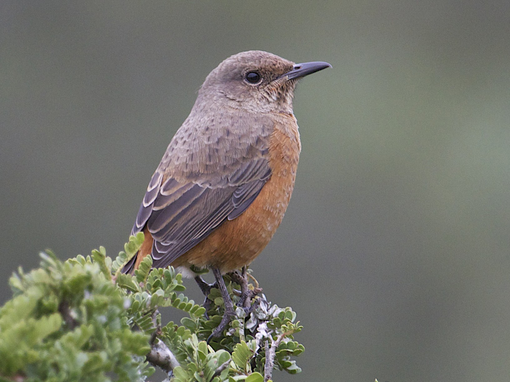 Cape Rock-Thrush - David Brassington