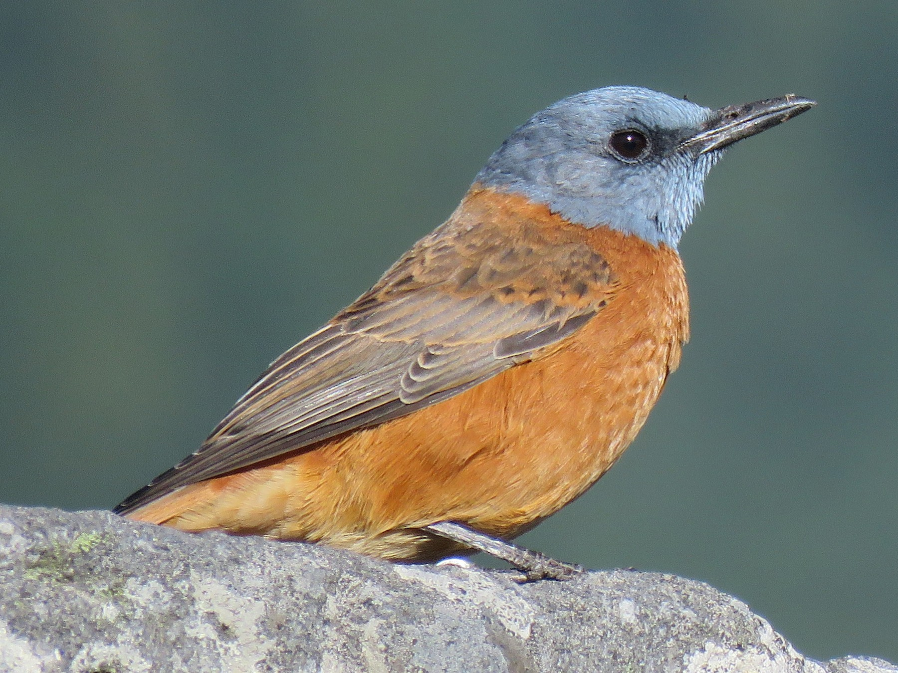 Cape Rock-Thrush - Brad Arthur