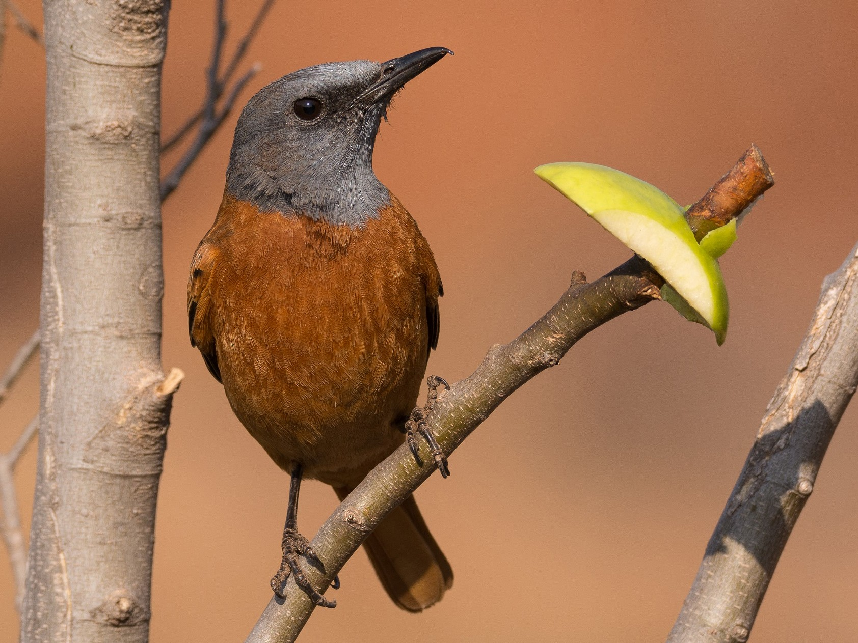 Cape Rock-Thrush - Ruben Gaasenbeek