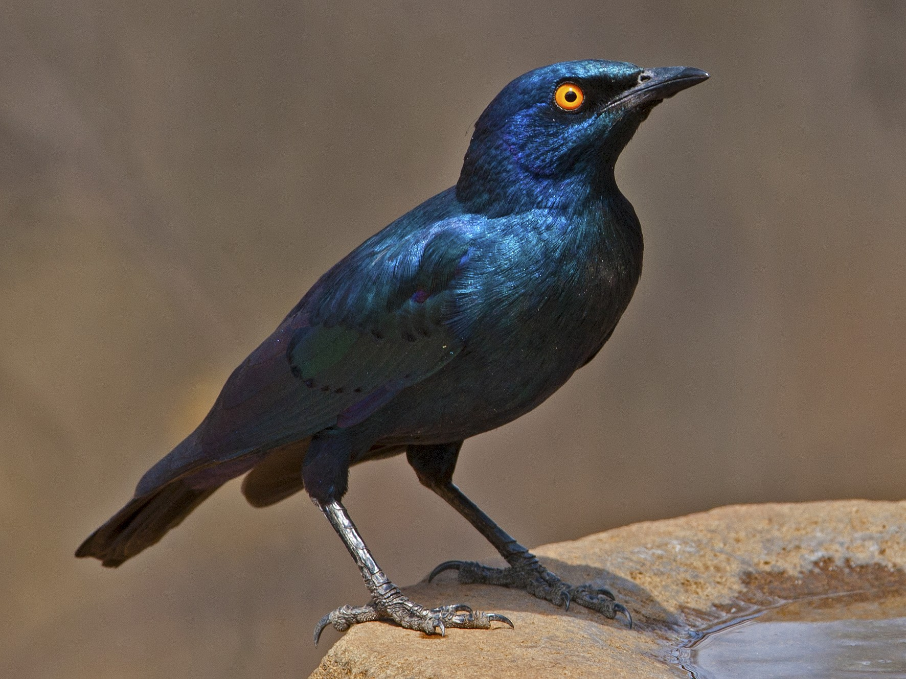 Cape Starling - Dean Polley